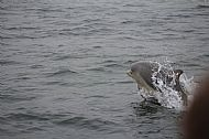 Dolphin off Findhorn